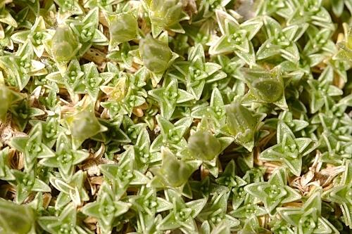 Arenaria tetraquetra subsp. amabilis (Bory) H. Lindb