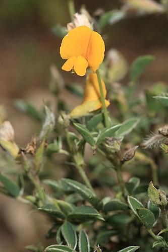 Argyrolobium zanonii subsp. zanonii (Turra) P.W. Ball