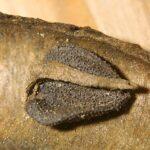 Aristolochia baetica L.