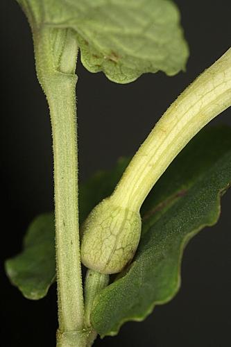 Aristolochia paucinervis Pomel