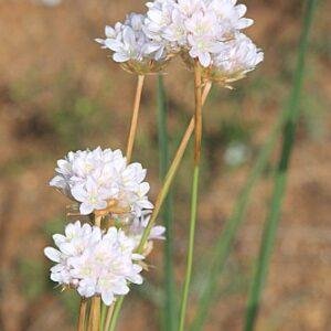 Armeria villosa subsp. carratracensis (Bernis) Nieto Fel.