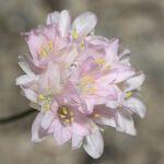 Armeria filicaulis (Boiss.) Boiss.