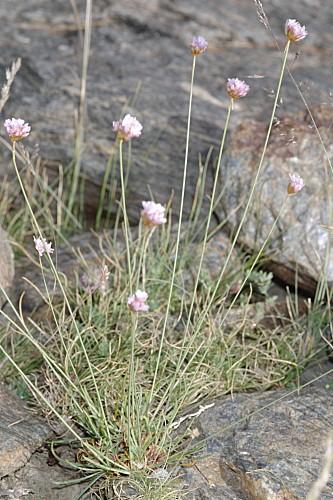 Armeria filicaulis subsp. nevadensis Nieto Feliner, Roselló & Fuertes