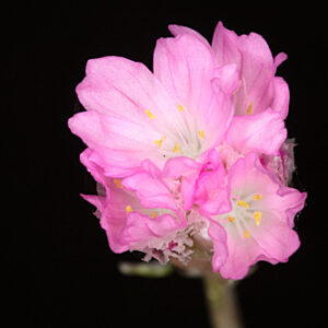 Armeria hirta Willd.