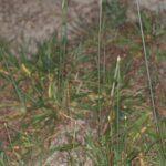 Armeria hispalensis Pau