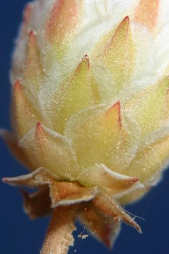 Armeria macrophylla Boiss. & Reut.