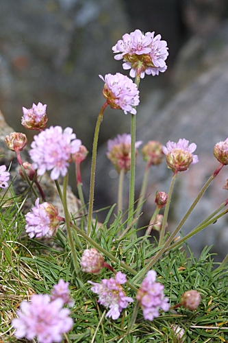Armeria maritima (Mill.) Willd.