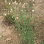 Armeria velutina Welw. ex Boiss. & Reut.