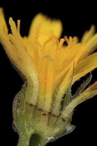Arnoseris minima (L.) Schweigg. & Koerte