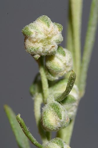 Artemisia alba subsp. nevadensis (Willk.) Blanca