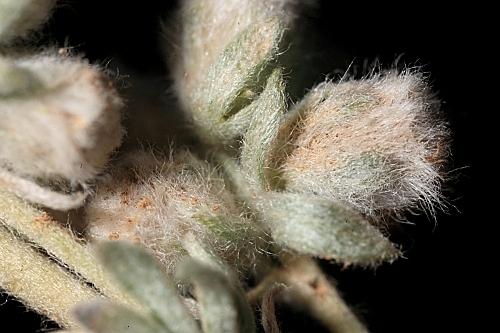 Artemisia assoana Willk.