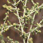 Artemisia barrelieri Besser