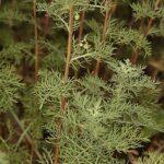 Artemisia chamaemelifolia Vill.