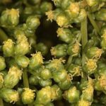 Artemisia crithmifolia L.