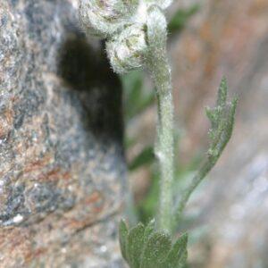 Artemisia granatensis Boiss.