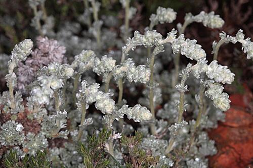 Artemisia pedemontana Balb.
