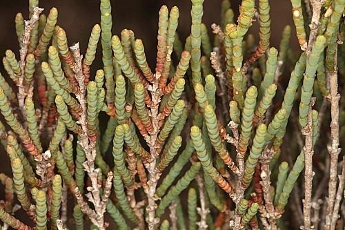 Arthrocnemum macrostachyum (Moric.) Moris