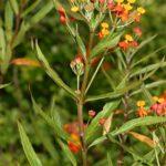 Asclepias curassavica L.