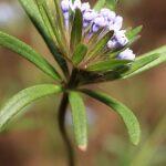 Asperula arvensis L.
