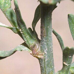 Aster squamatus (Spreng.) Hieron