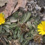 Asteriscus maritimus (L.) Less.