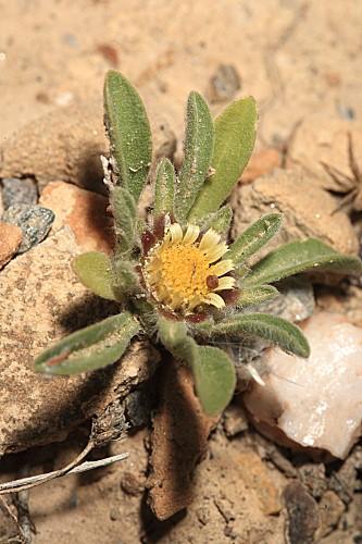 Asteriscus pygmaeus (DC.) Coss. & Durieu