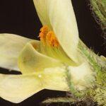 Astragalus boeticus L.