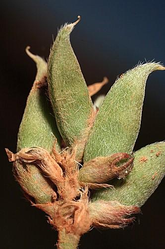 Astragalus bourgaeanus Coss.
