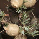 Astragalus clusianus Soldano