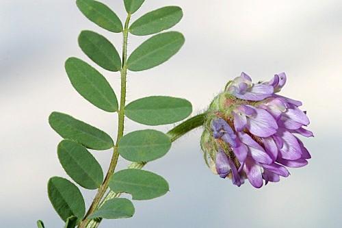 Astragalus echinatus Murray