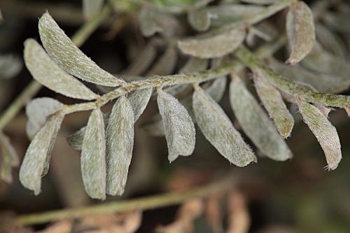 Astragalus edulis Bunge