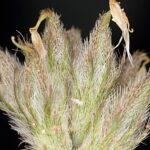 Astragalus glaux L.