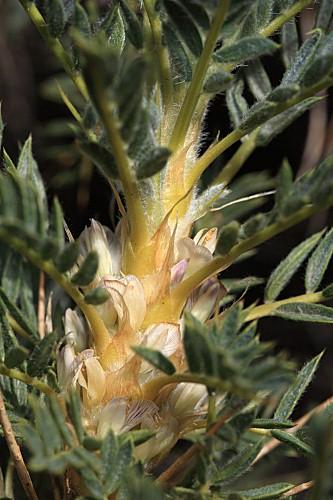 Astragalus granatensis Lam.