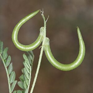 Astragalus hamosus L.