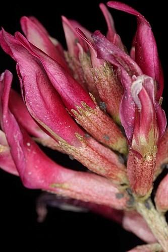 Astragalus incanus subsp. incanus L.