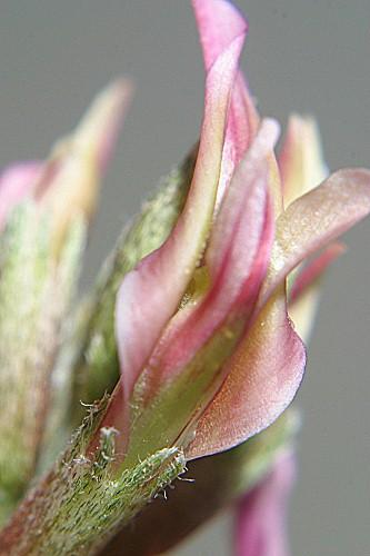 Astragalus incanus subsp. nummularioides (Desf.) Maire in Jahand. & Maire