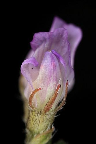 Astragalus pelecinus (L.) Barneby
