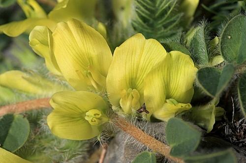 Astragalus tremolsianus Pau