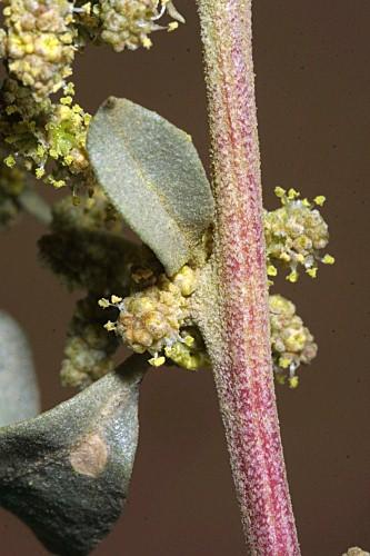 Atriplex halimus L.