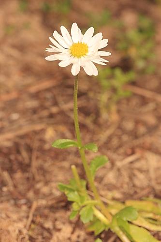 Bellis annua subsp. annua L.