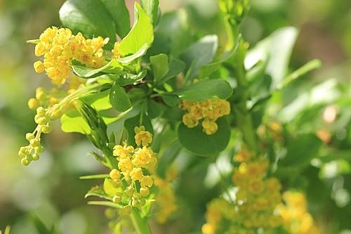 Berberis vulgaris subsp. australis (Boiss.) Heywood