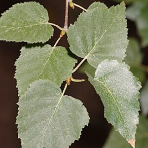 Betula alba L.
