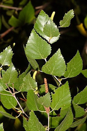 Betula pendula subsp. fontqueri (Rothm) G. Moreno & Peinado