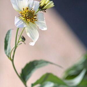 Bidens aurea (Aiton) Sherff