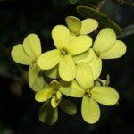 Biscutella auriculata L.