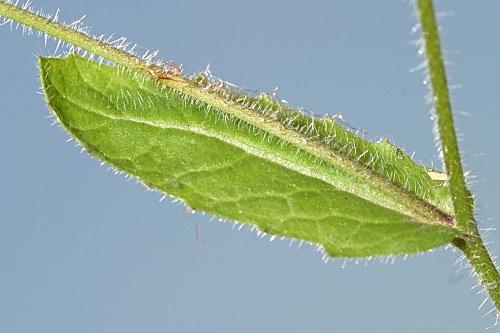 Biscutella baetica Boiss. & Reut.