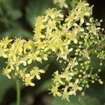 Biscutella frutescens Coss.