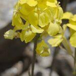 Biscutella glacialis (Boiss. & Reut.) Jord.