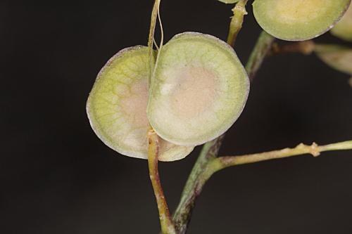 Biscutella sempervirens L.