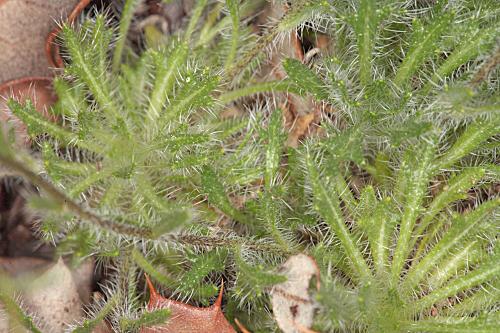 Biscutella valentina subsp. pyrenaica (A. Huet) Grau & Klingenberg